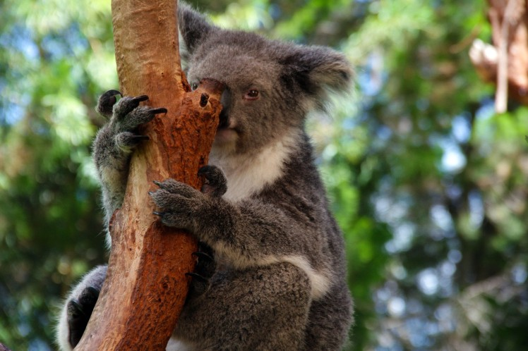 koala_7554